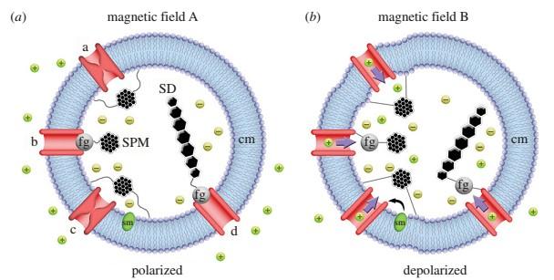 گیرندگی مغناطیسی در پرندگان و ناوبری آنان (Magnetoreception)