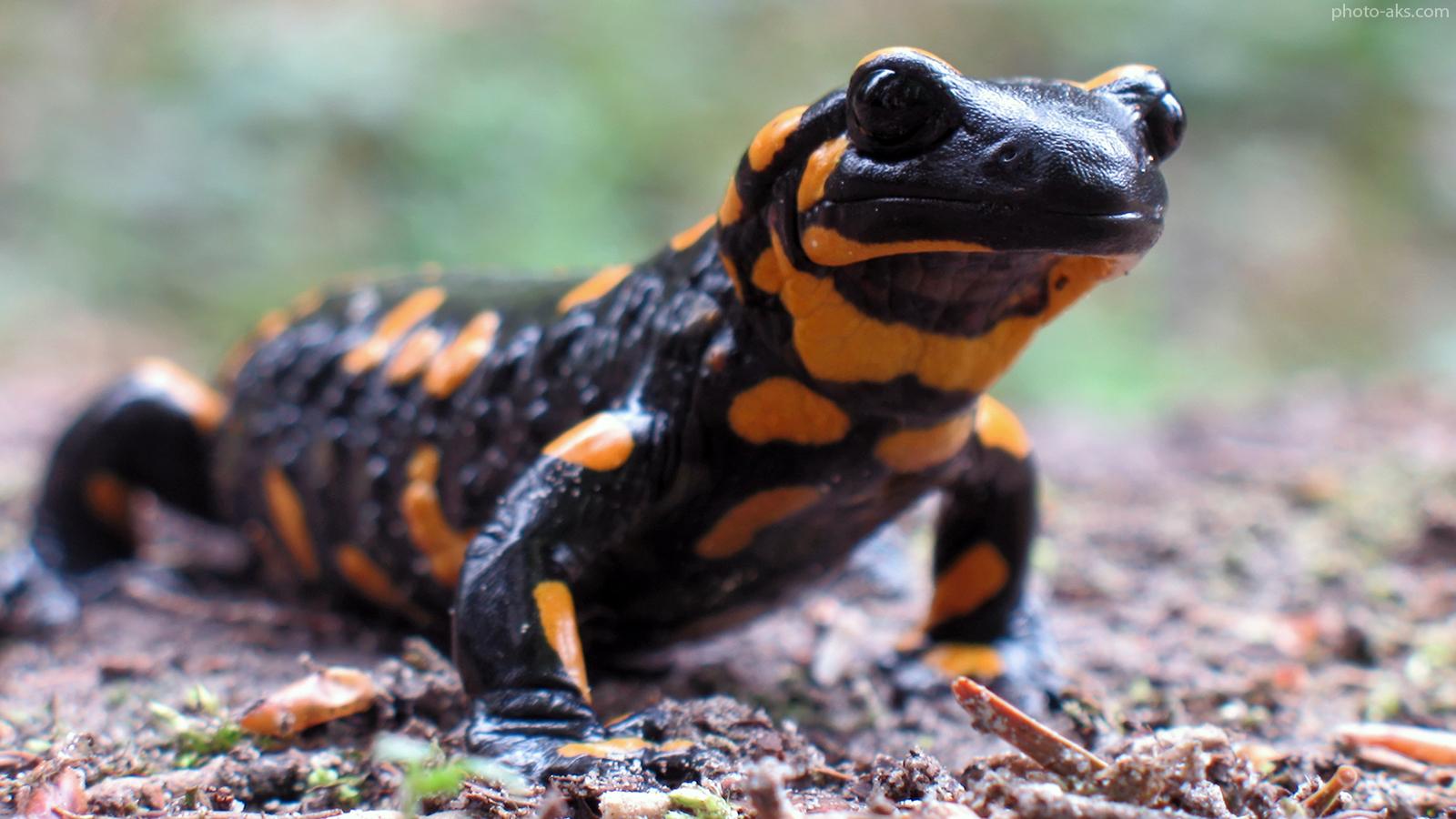 fire-salamander-black-orange